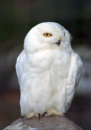 national geographic photo - snowy owl